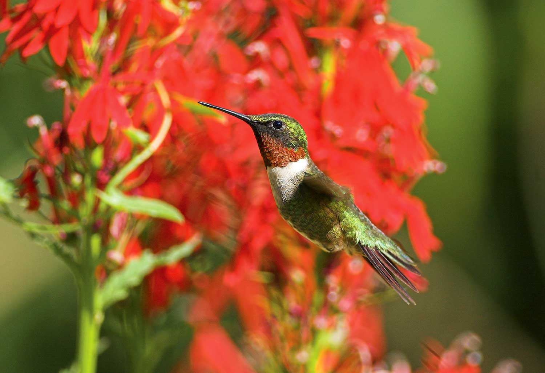 Ruby-throated hummingbird at a cardinal flower in the Native Plants Garden (Photo: Jon Brierley).
