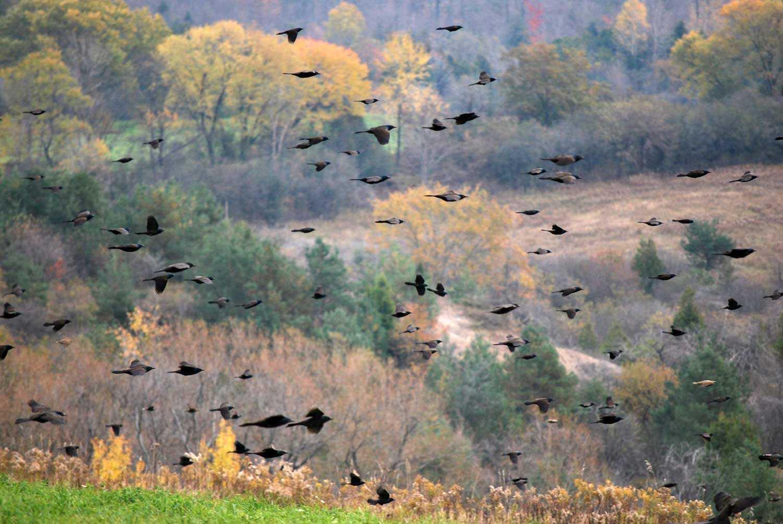 Fall migration in the Enniskillen Valley (Photo courtesy of CLOCA)
