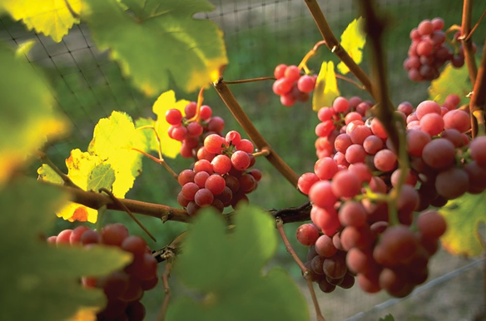 Vineyards across the Niagara region are taking advantage of the growing wine industry in our province. (Photo: Ontario Tourism)